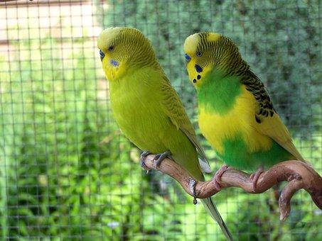 Birds, Budgerigars, Together, Animal World, Parakeets