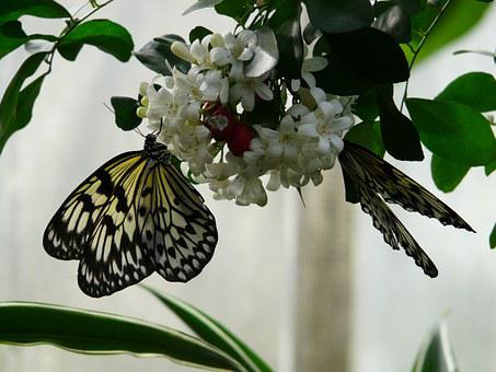 White Baumnymphe, Butterfly, Idea Leuconoe, White