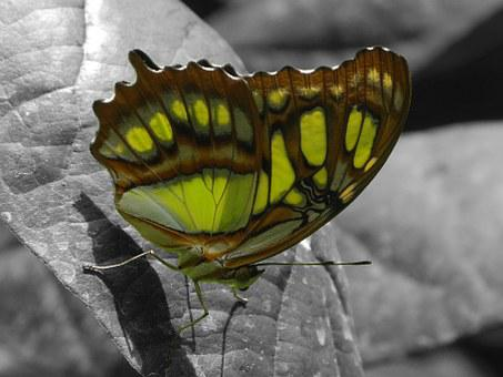 Butterfly, Green, Close, Insect, Wing
