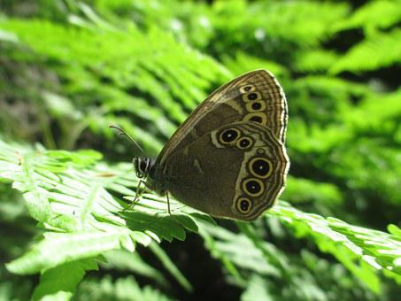 Butterfly, Woodland Brown, Nymphalidae, Animal, Summer