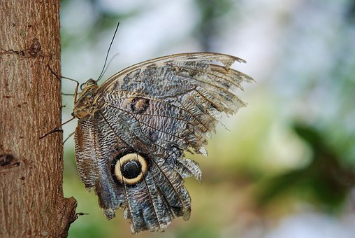 Owl Butterfly, Butterfly, Caligo, Nymphalidae, Insect