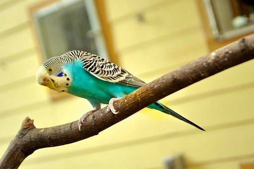 Parakeet, Canary Bird, Canary, Blue, Blue Parakeet