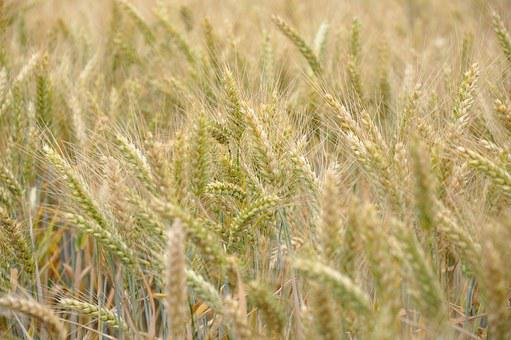 Wheat, Cereals, Wheat Fields, Fields, Agriculture