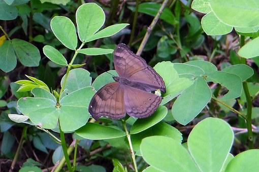Common Baron, Butterfly, Euthalia Aconthea, Baron