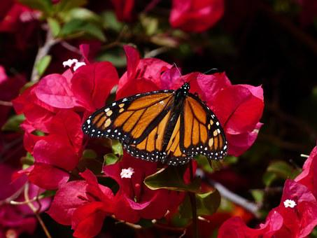 Butterfly, Monarch Butterfly, Danaus Plexippus