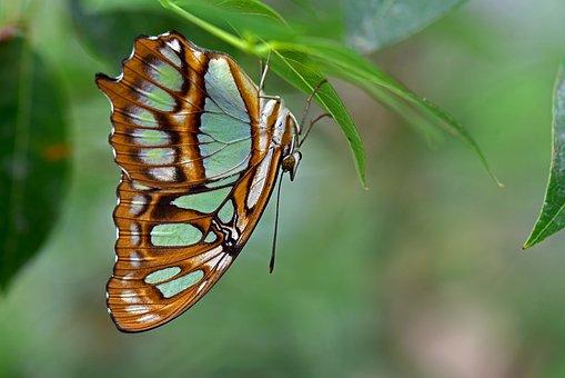 Malachite Butterfly, Butterflies, Edelfalter, Insect