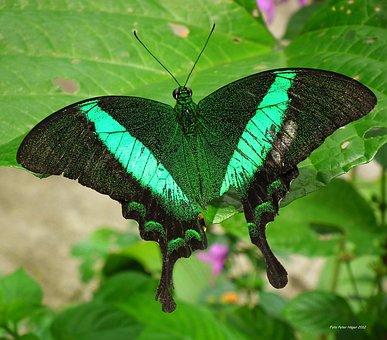 Emerald Swallowtail, Emerald Peacock