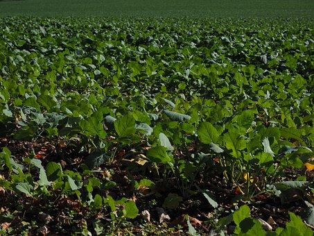 Winter Oilseed Rape, Green Manure, Oilseed Rape, Field