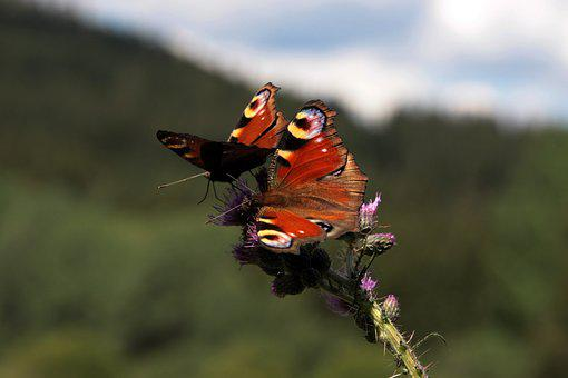 Butterfly, Eatting, Food, Flower, Summer, Tow, Wings