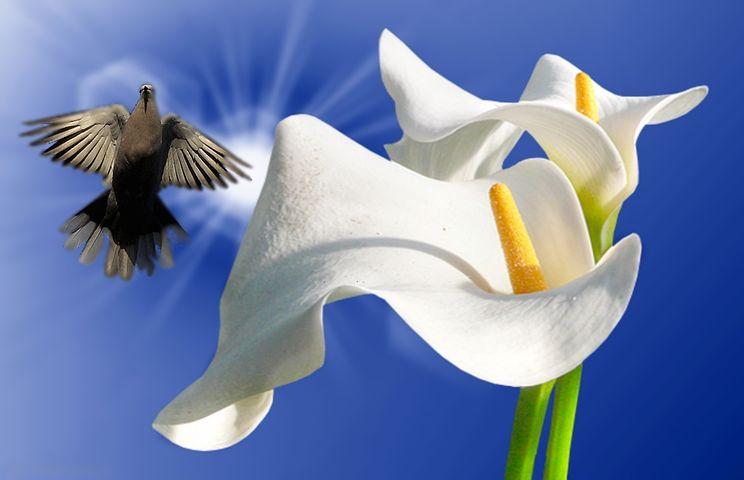 Lirios, White Lilies, Ornamental, Plant, Flower