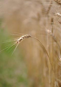 Grain, Food, Agriculture, Wheat, Spike, Spica, Cereal