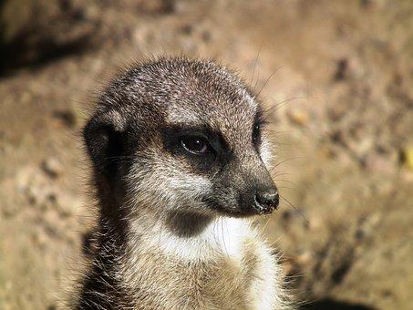 Meerkat, Mongoose, Ausschau, Funny, Watch, Cute