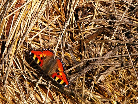 Butterfly, Insect, Hay, Small Tortoiseshell, Animal