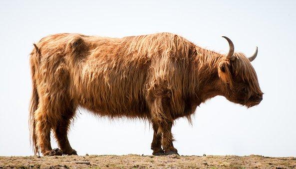Highlander, Bull, Ox, Cattle, Animal, Cow, Highland