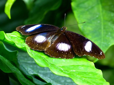 Butterfly, Flying, Insect, Animal, Names Great Eggfly