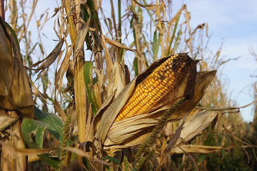 Corn, Kukuruz, Popcorn, Corn On The Cob, Field