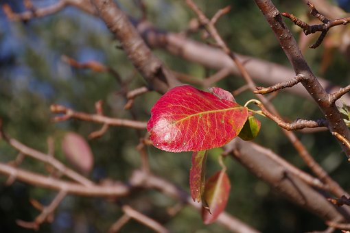 Leaf, Leaves, Plant, Winter, However, Pear Leaf