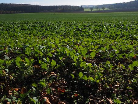 Leaves, Green, Field, Agriculture, Winter Oilseed Rape