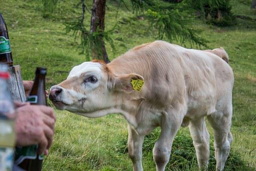 Cow, Beef, Cattle, Cows, Agriculture, Livestock, Calf