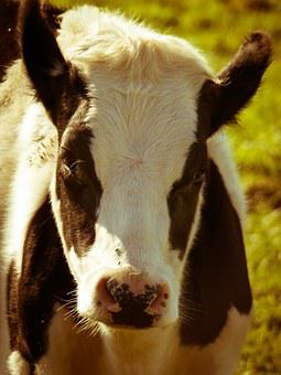 Cow, Meadow, Pasture, Head, Cow Head, Stains, Livestock