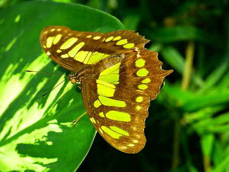 Butterfly, Flying, Insect, Animal, Malachite Butterfly