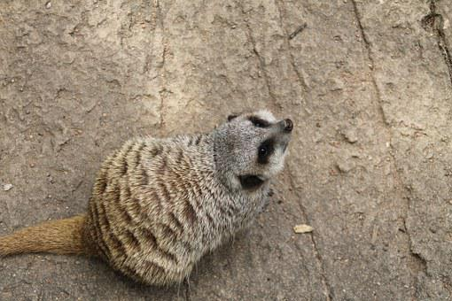 Meercat, Looking, Cute, Zoo, Nature, Small, Animal