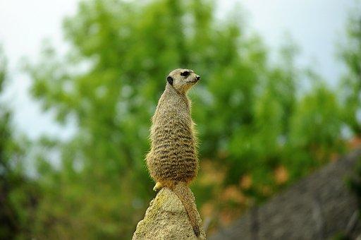 Meerkat, View, Observer, Nature, Cute, Mammal, Animal