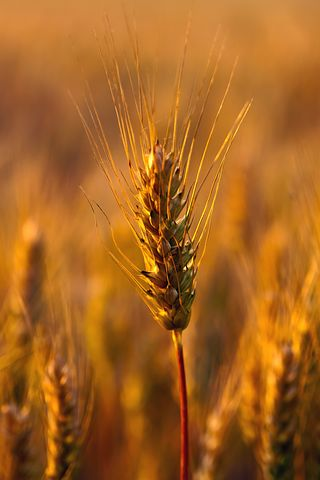 Wheat Field, Close-up, Plant, Natural, Outdoors, Dry