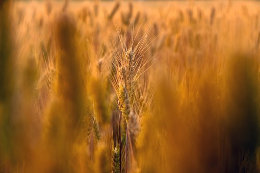 Wheat Field, Close-up, Natural, Outdoors, Dry, Golden