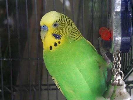 Bird, Budgie, Budgerigar, Parakeet, Nature, Animal