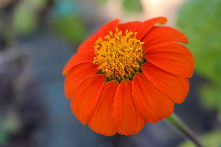 Flower, Beauty, Color, Petals, Orange, Flowers, Daisy