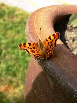 Butterfly, Painted Lady, Insect, Proboscis, Antenna