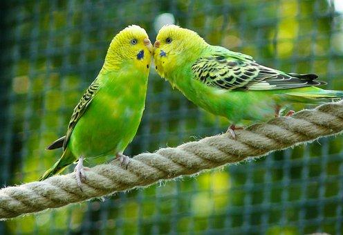 Budgerigars, Birds, Parakeets, Animal, Animals