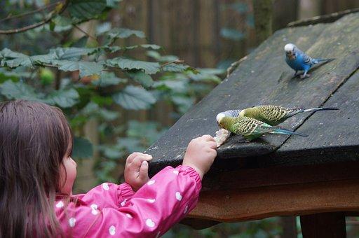 Budgerigars, Canaries, Birds, Animal World, Parakeets