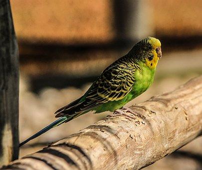 Budgerigar Parakeet, Green, Bird, Parrot, Parakeet