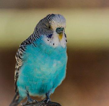 Blue Parakeet, Bird, Blue, Parrot, Budgerigar