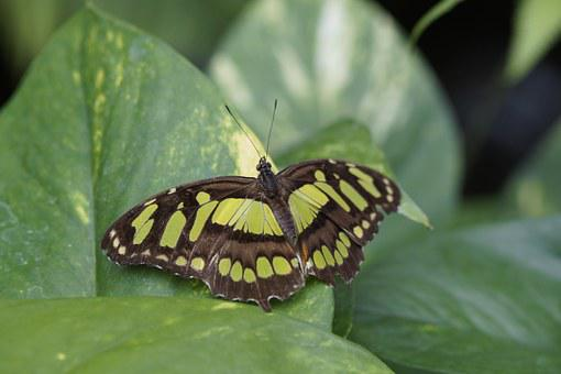 Malachite Butterfly, Wing, Spread, Leaf, Sit, Butterfly