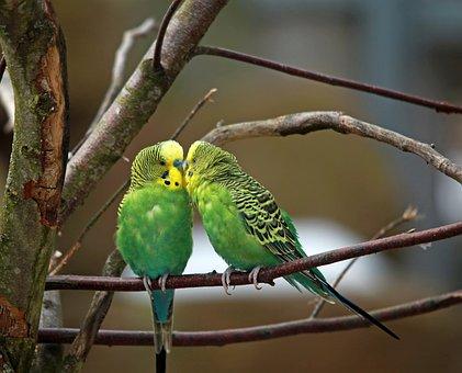 Budgerigars, Pair, Green Bird, Small Parrot, Birds