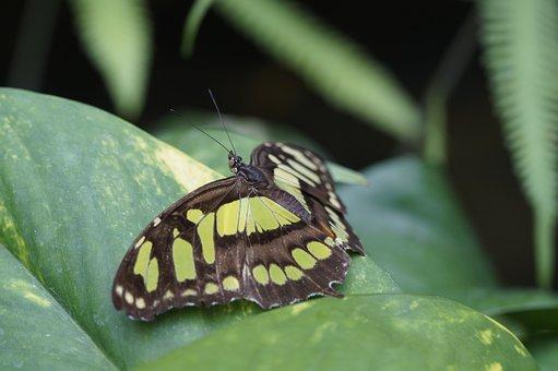 Malachite Butterfly, Wing, Spread, Leaf, Sit, Butterfly