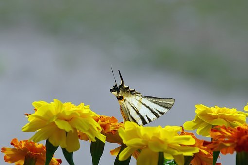 Swallowtail, Iphiclides Podalirius, Flowers, Marigold