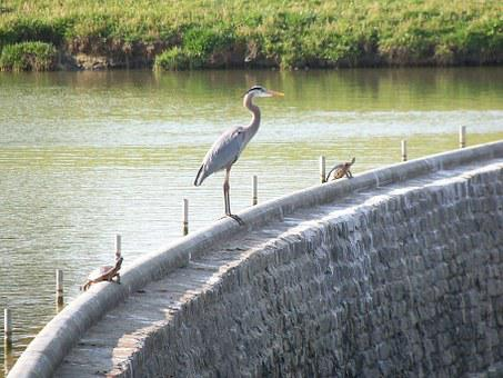 Great Blue Heron, Bird, Wildlife, Nature, Water