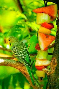 Bird, Parrot, Animal, Pet, Small, Wildlife, Budgerigar