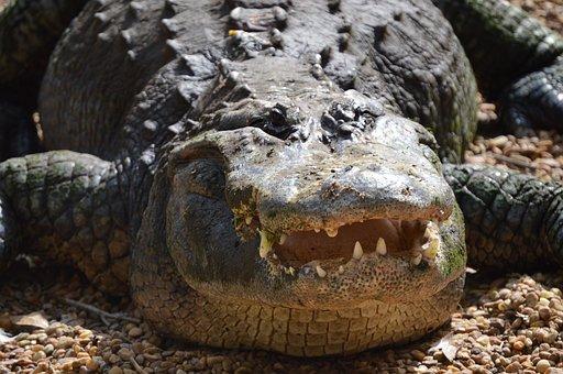 Alligator, Crocodile, Reptile, Gator, Animal, Dangerous