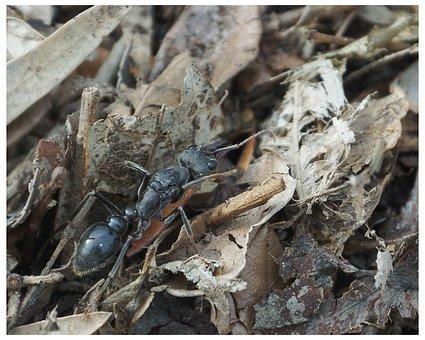Ant, Myrmecia, Myrmecia Pyriformis, Deadly, Soldier