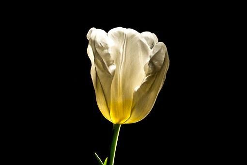 Tulip, Flower, Spring, Blossom, Bloom, Easter, Love