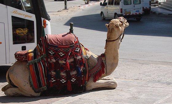 Camel, Animal, Resting, Heat, Harness, Bridle, Saddle