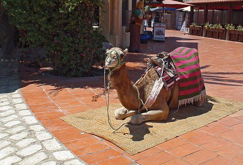 Camel, Clothing, Derka, Saddle, Bridle, Seat, Harness