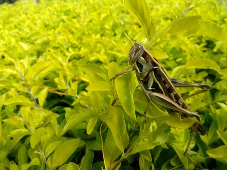 Cricket, Grasshopper, Nature, Insect, Animal, Green