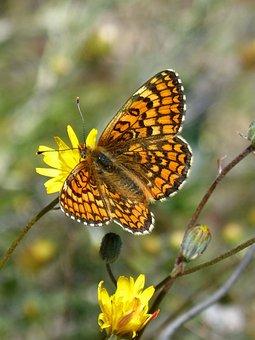 Damero Knapweed, Orange Butterfly, Melita Phoebe