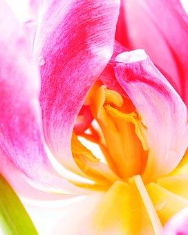 Tulip, Flower, Blossom, Wild Flower, Floral, Summer